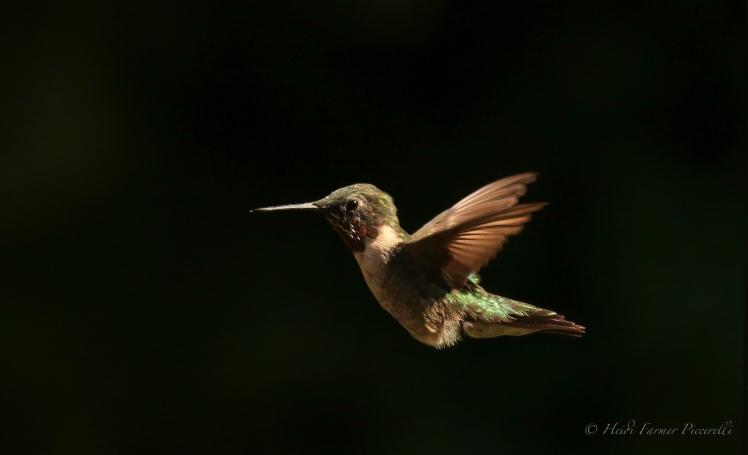 Hummingbird 8.13.15