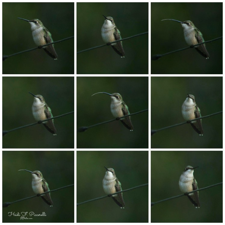 hummingbird collage 676 kb hfp
