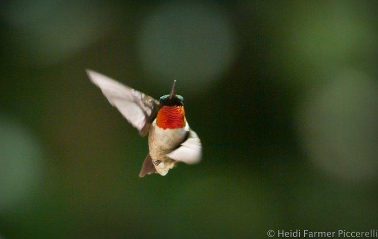hummingbird ole 7.11.14
