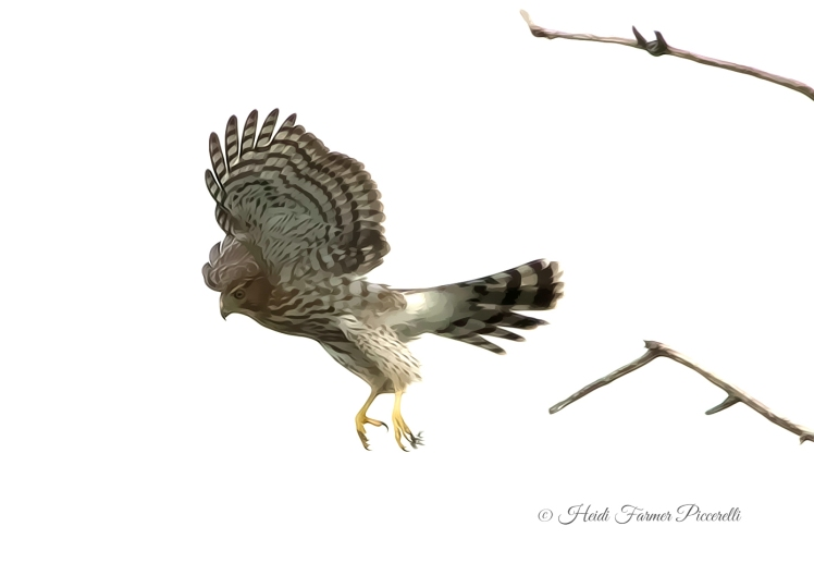 Red shouldered hawk 209KB hfp-2