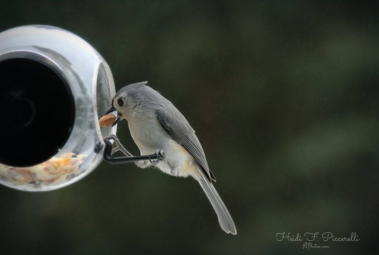 titmouse in feeder 3.3 14 hfp sm