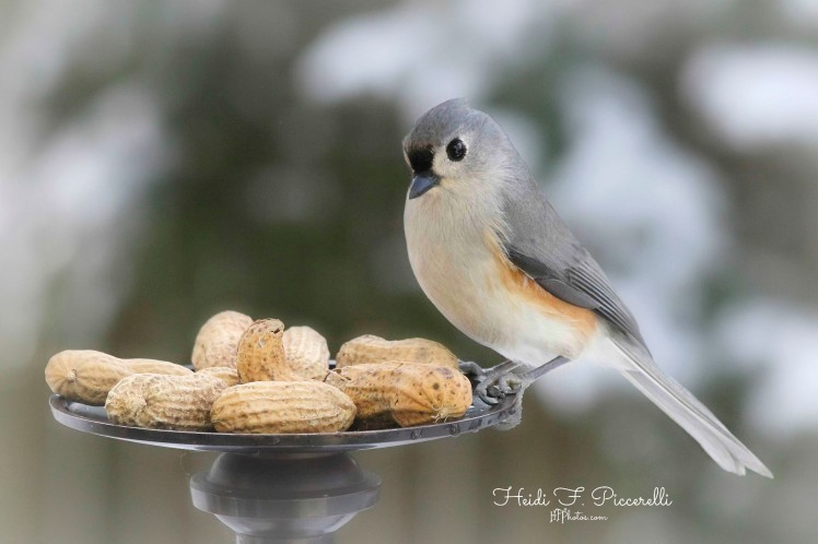Titmouse peanut hfp lg