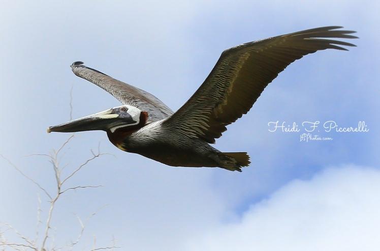 pelican 2 18 2014 hfp