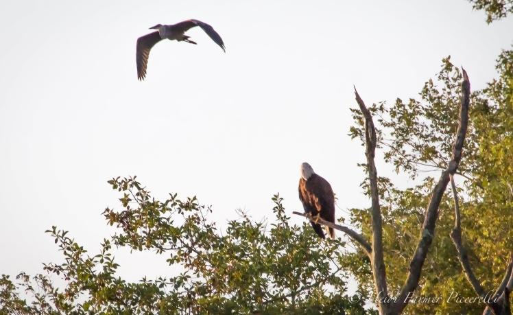 Eagle and blue Heron