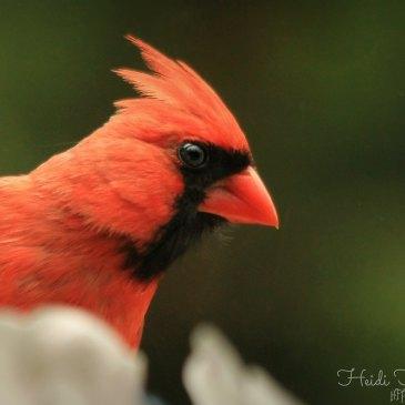 cardinal symbolism – Wild For Birds