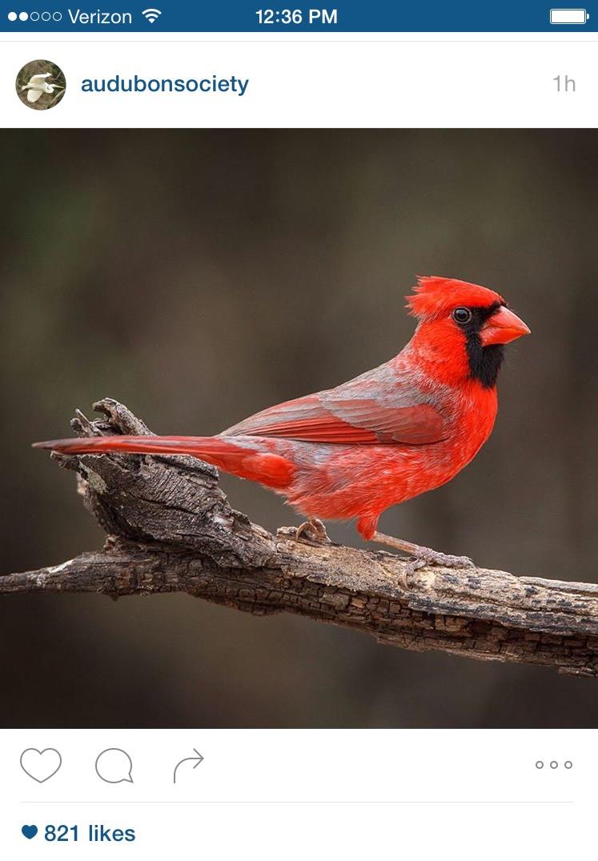 Cardinals signs from heaven wild for birds cardinal audubon buycottarizona Images