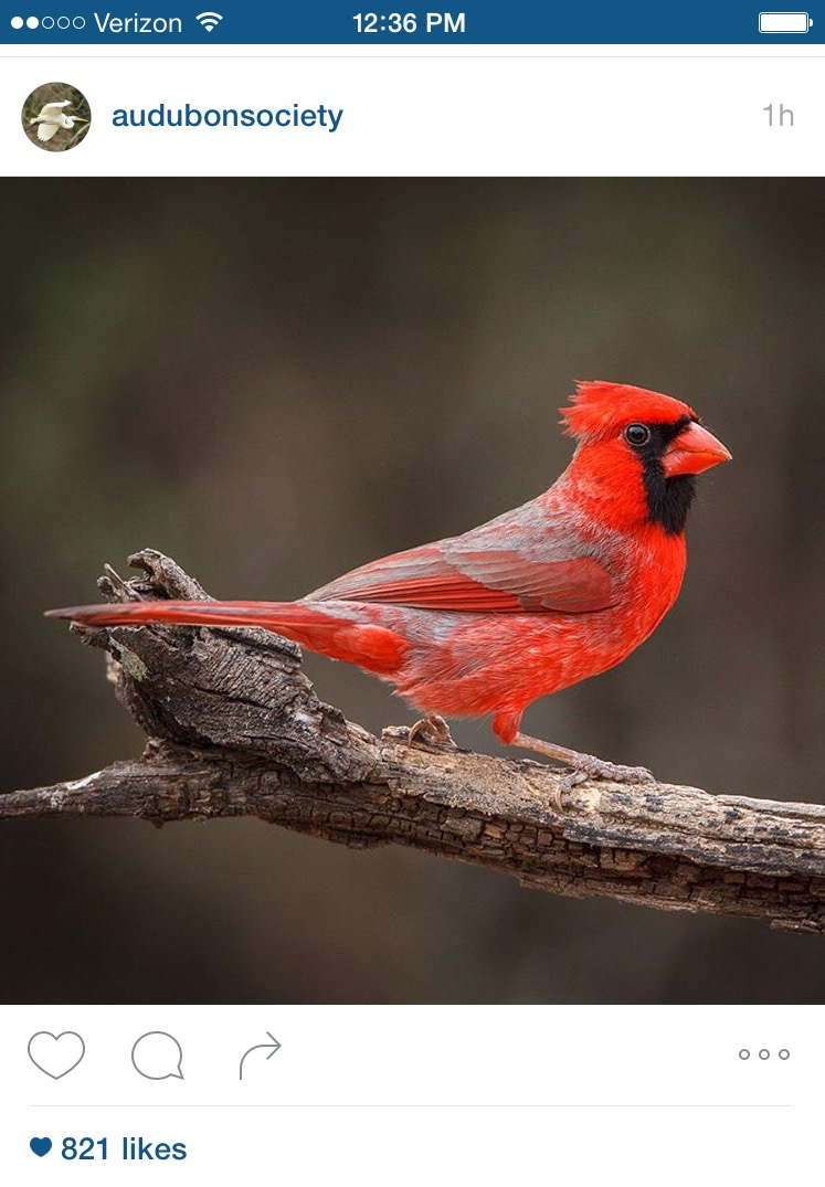 Cardinals – Signs From Heaven? – Wild For Birds