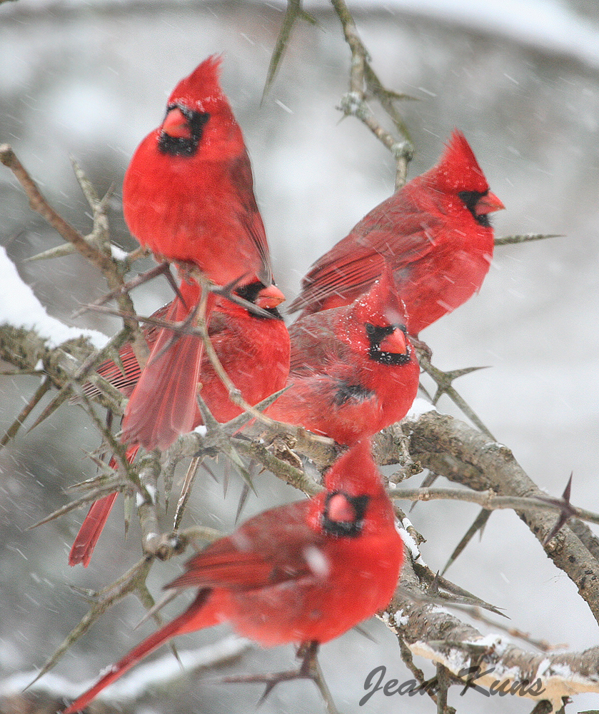 Cardinals Signs From Heaven Wild For Birds